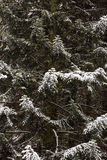 Winter fir tree branches Stock Photos