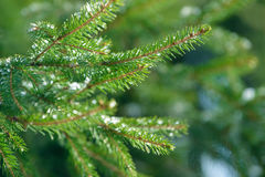 Winter fir tree branches covered with ice, snow and frozen water drops. Frozen spruce tree branch in winter forest. Background Stock Photography