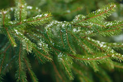Winter fir tree branches covered with ice, snow and frozen water drops. Frozen spruce tree branch in winter forest. Background Royalty Free Stock Photos