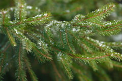 Winter fir tree branches covered with ice, snow and frozen water drops. Frozen spruce tree branch in winter forest. Background Royalty Free Stock Images