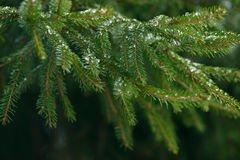 Winter fir tree branches covered with ice, snow and frozen water drops. Frozen spruce tree branch in winter forest. Background Royalty Free Stock Photography