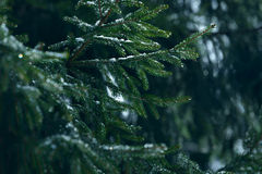 Winter fir tree branches covered with ice, snow and frozen water drops. Frozen spruce tree branch in winter forest. Background Stock Photo