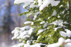 Winter fir tree branches covered with snow. Frozen spruce tree branch in winter forest. Royalty Free Stock Image