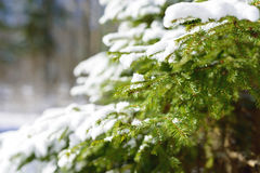 Winter fir tree branches covered with snow. Frozen spruce tree branch in winter forest. Stock Photo