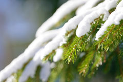 Winter fir tree branches covered with snow. Frozen spruce tree branch in winter forest. Stock Images