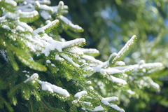 Winter fir tree branches covered with snow. Frozen spruce tree branch in winter forest. Royalty Free Stock Images