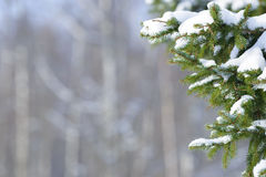 Winter fir tree branches covered with snow. Frozen tree branch in winter forest. Royalty Free Stock Images