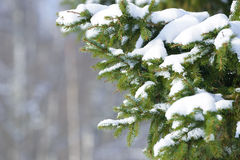 Winter fir tree branches covered with snow. Frozen tree branch in winter forest. Stock Photography