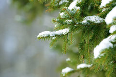 Winter fir tree branches covered with snow. Frozen tree branch in winter forest. Stock Photo
