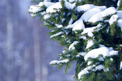 Winter fir tree branches covered with snow. Frozen tree branch in winter forest. Royalty Free Stock Photo