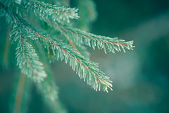 Winter fir tree branches covered with snow. Frozen tree branch in winter forest. Royalty Free Stock Photography