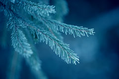 Winter fir tree branches covered with snow. Frozen tree branch in winter forest. Royalty Free Stock Image