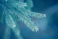 Winter fir tree branches covered with snow. Frozen tree branch in winter forest. Stock Image