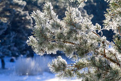 Winter, fir-tree in  frost Royalty Free Stock Image