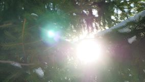 Winter fir tree nature snow on the branches of spruce landscape sun glare stock video