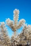 Winter, fir tree and sky Royalty Free Stock Images