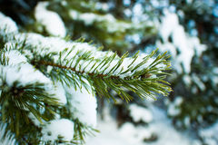 Winter Fir tree. Sprig of fir covered with snow in the beautiful forest Stock Photo