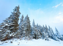 Winter fir trees Royalty Free Stock Photo