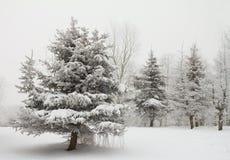 Winter fir trees Stock Photo