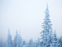Winter fir trees Stock Image