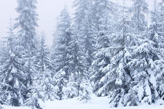 Winter fir trees Stock Photo