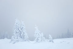 Winter fir trees Royalty Free Stock Photography