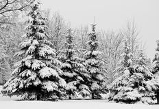 Free Winter Fir Trees Stock Photography - 9881372