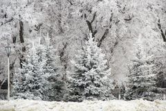 Winter fir trees and trees snowy landscape in winter park.  Royalty Free Stock Photo