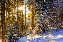 Winter fir trees with sun rays Stock Photos