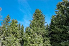 Winter fir trees Stock Photography