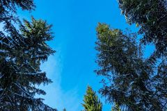 Winter fir trees Royalty Free Stock Photos