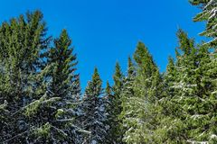 Winter fir trees Royalty Free Stock Image