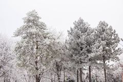 Winter fir trees and trees snowy landscape in winter park.  Stock Photo
