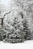 Winter fir trees and trees snowy landscape in winter park.  Royalty Free Stock Photos
