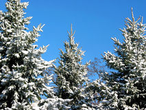 Winter fir trees under snow 1. Winter fir trees covered with fresh snow on the background on bright blue sky Stock Image