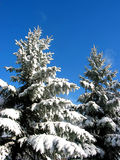 Winter fir trees under snow. Winter fir trees covered with fresh snow on the background on bright blue sky Royalty Free Stock Photos