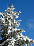 Winter fir under snow Royalty Free Stock Photo