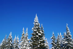 Winter fir wood Stock Photos