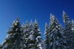 Winter fir wood Stock Photography