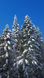 Winter fir wood Stock Image