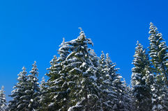 Winter fir wood Royalty Free Stock Image