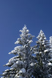 Winter firs. Snowy winter. The fir wood Royalty Free Stock Images