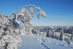Winter  firs under snow Royalty Free Stock Photography