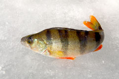 Winter fishing. Just trapped fish lies on ice Stock Photography