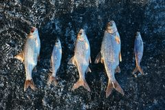 Winter fishing - caught fish on ice Royalty Free Stock Images