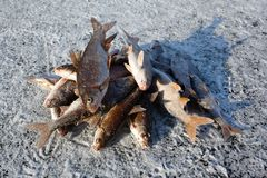 Winter fishing - caught fish on ice Royalty Free Stock Image
