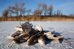 Winter fishing - caught fish on ice Stock Photography