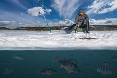 Winter fishing concept. Fisherman in action. Catching perch f. Winter fishing background. Fisherman in action. Catching perch fish from snowy ice at lake above stock image