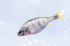 Winter fishing. A fish on a frozen lake Royalty Free Stock Photo