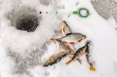 Winter fishing, fish in the hands of the fisherman Royalty Free Stock Image